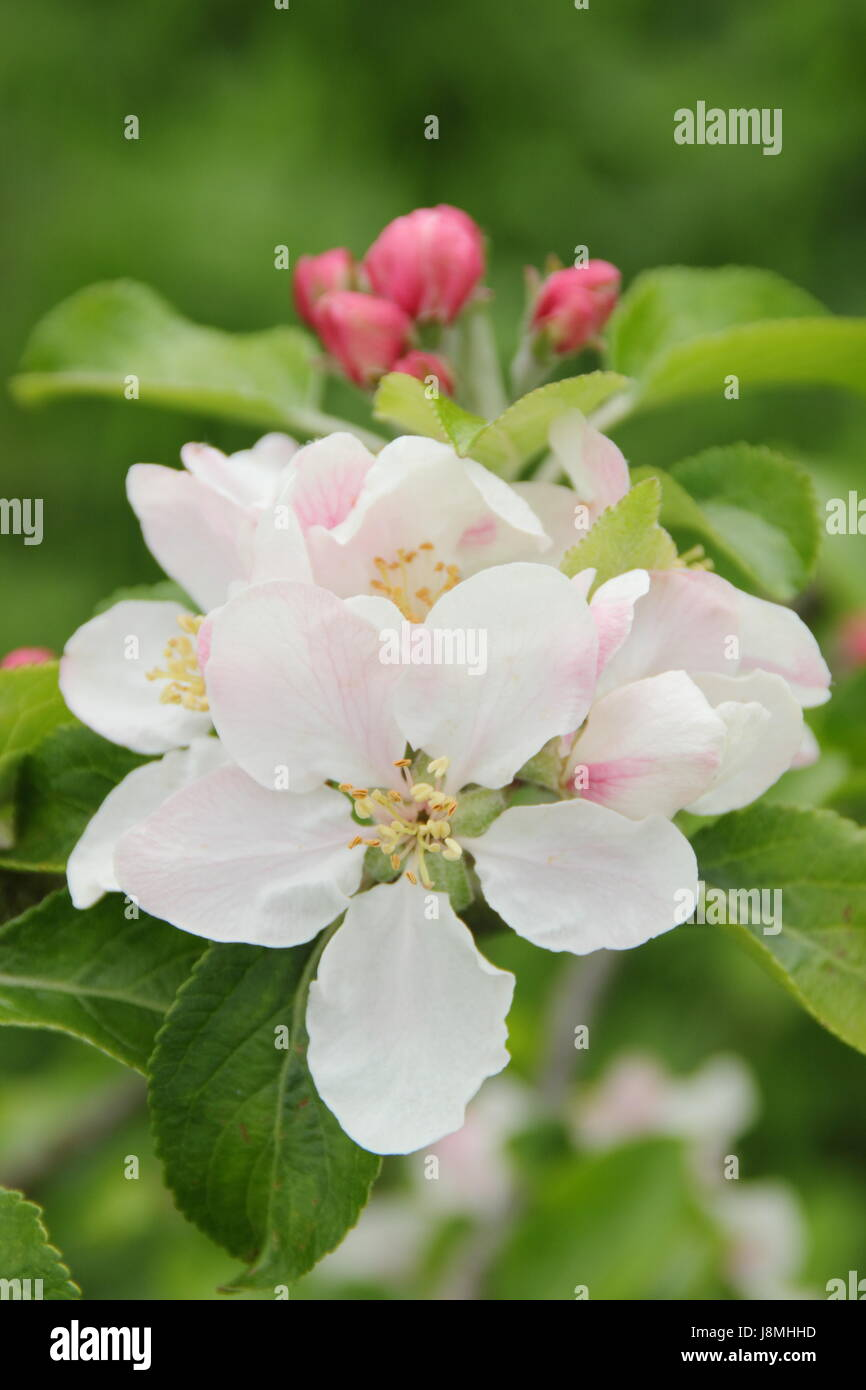 Malus domestica 'Laxton's Fortune' apple blossom in full bloom in an English heritage orchard on a sunny - Stock Image