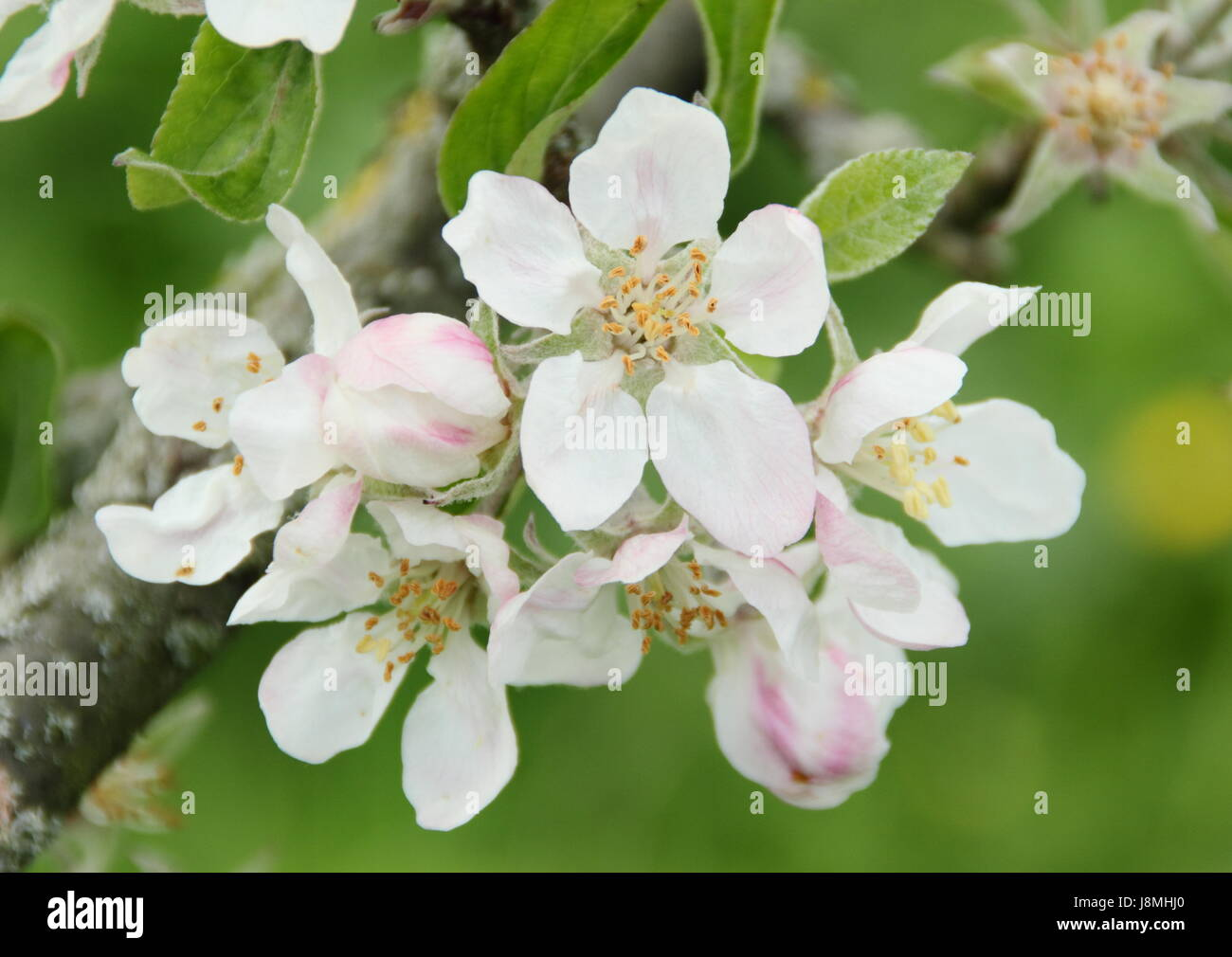 Malus domestica ' Devonshire Quarrenden' apple tree blossom in full bloom in an English heritage orchard - Stock Image