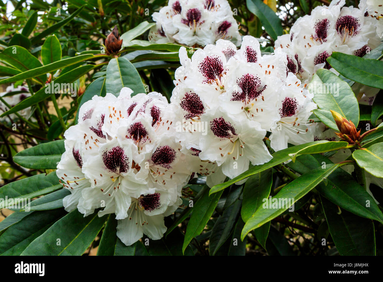 Large trusses of white Rhododendron  flowers marked with deep wine purple. - Stock Image