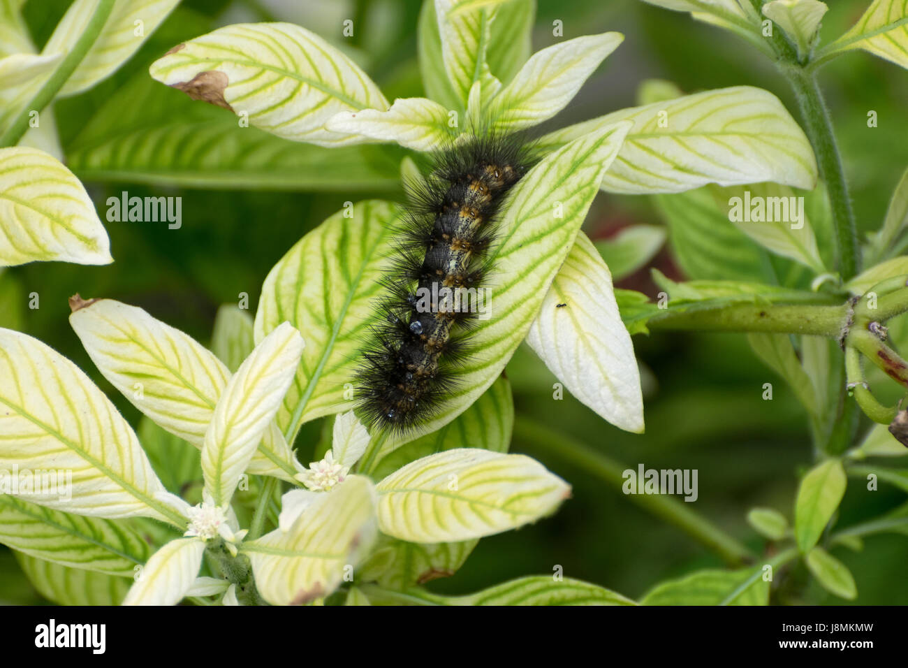 Fuzzy Salt Marsh Moth Caterpillar covered in clusters of spiky, black hairs crawling across a bright green leaf - Stock Image