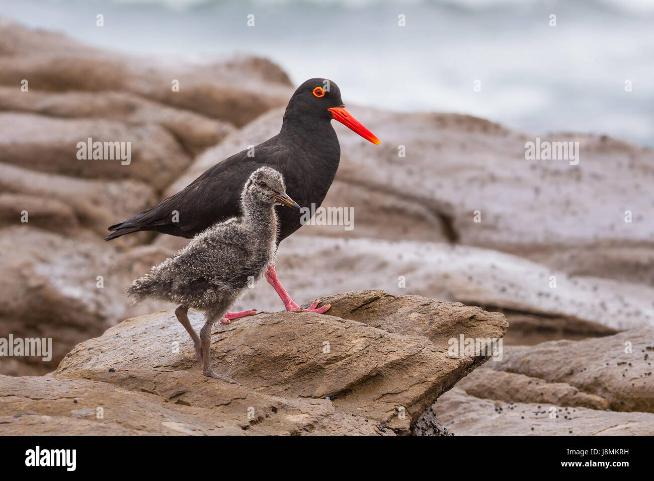 African black oystercatchers, with striking red beak, mother with chick, walking along the rocky shore at Glengariff - Stock Image