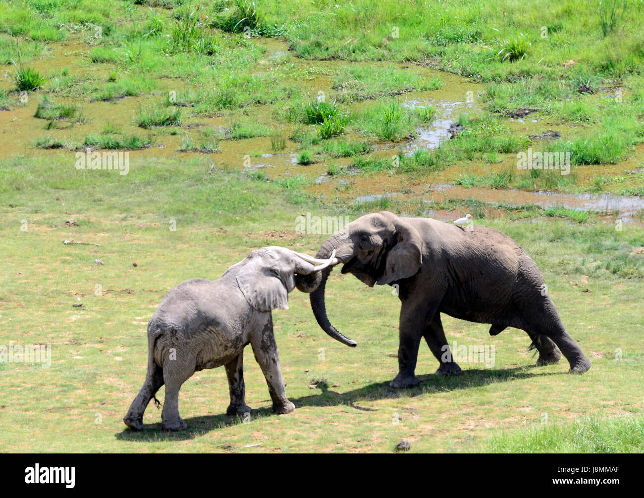 African Elephants playing in Amboseli national park in Kenya. - Stock Image
