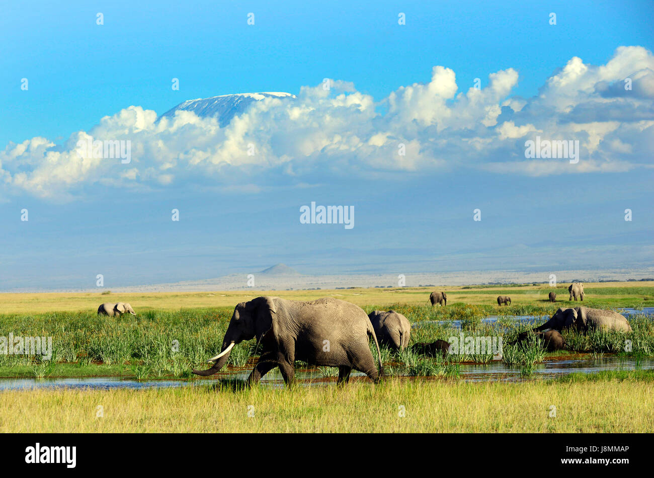 A herd of African elephants roaming the savanna below Mount Kilimanjaro in Amboseli national park in Kenya. - Stock Image