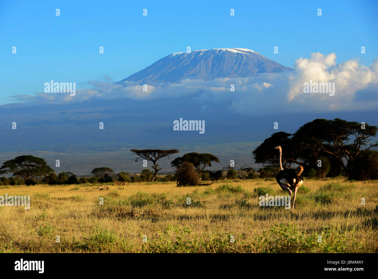 An Ostrich in Amboseli national park in Kenya. Mount Kilimanjaro towering behind. - Stock Image