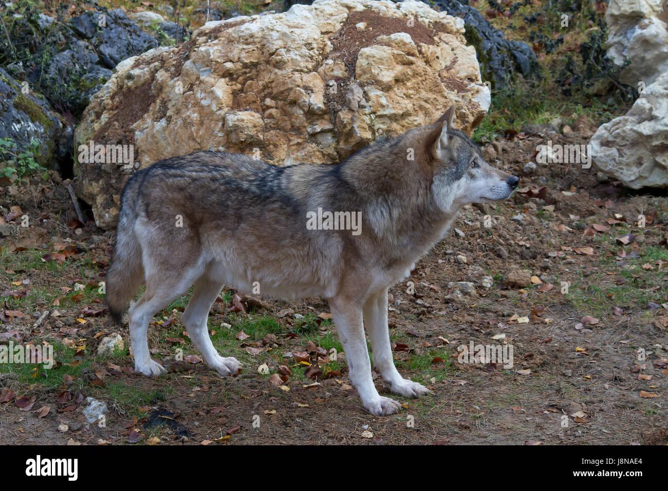 wild, portrait, eyes, zoo, dog, nature, head, fall, autumn, wild, face, Stock Photo