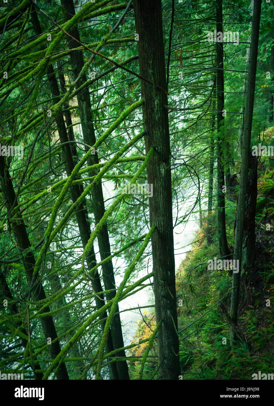 The beautiful temperate rainforest on the banks of the Capilano River at Capilano Suspension Bridge Park in North - Stock Image