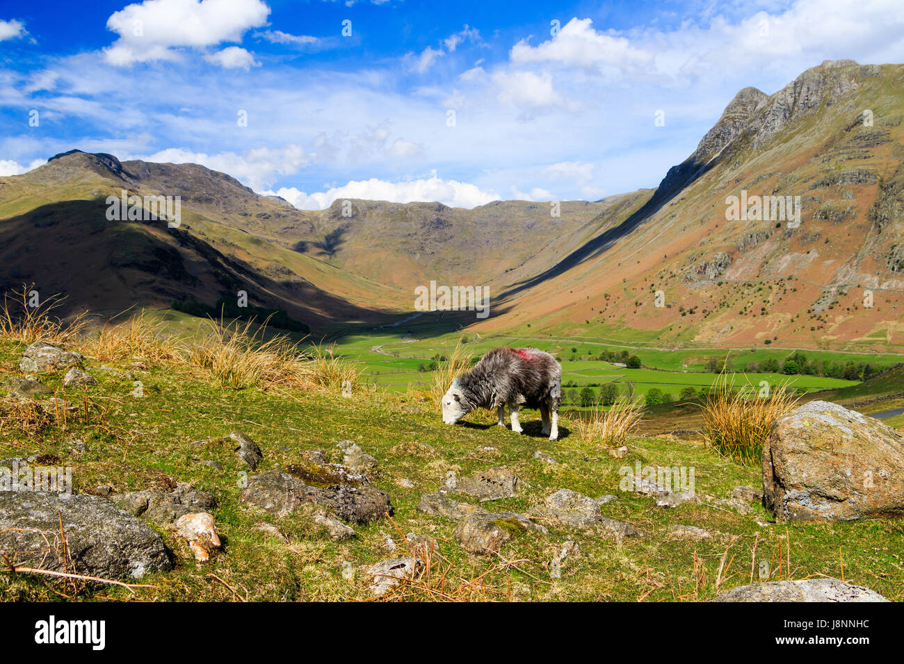 A native herdwick sheep grazes above the dramatic scenery of Great Langdale in the Lake District. - Stock Image