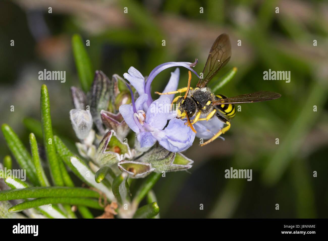Gegürtete Wespenbiene, Wespenbiene, Männchen, Wespenbienen, Nomada succincta, Yellow-Legged Nomad-Bee, - Stock Image