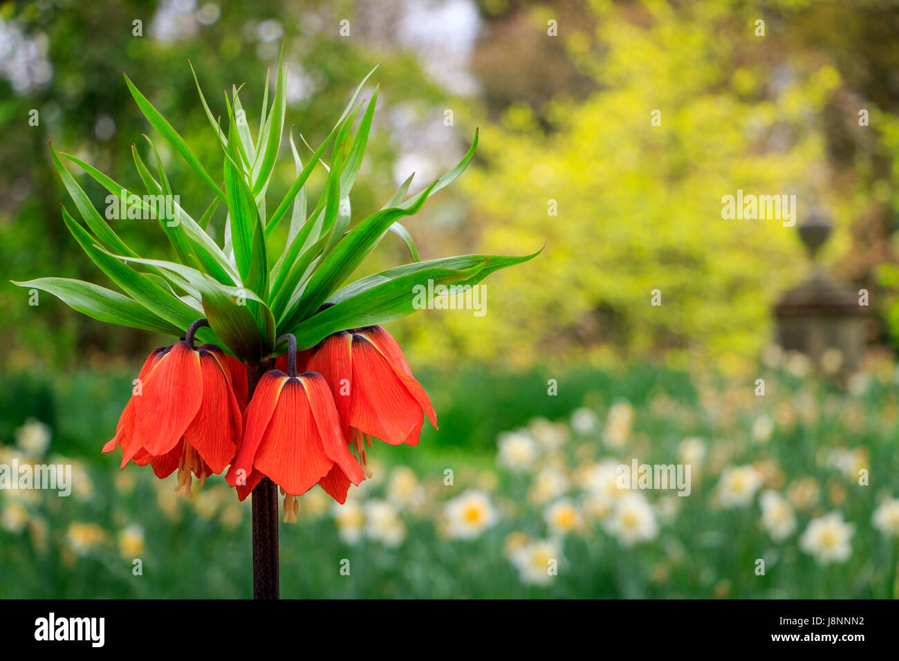 The Big Bold Orange Flowers Of The Crown Imperial Frittilaria Stock