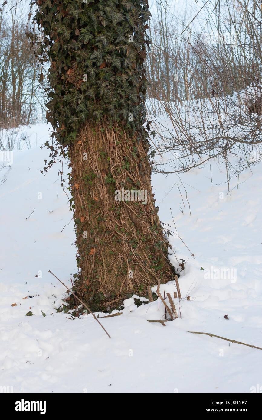 Reh hat bei Schnee, Schneelage in einem harten Winter Efeu abgefressen, Verbiss durch Reh, Reh-Wild, Spuren der - Stock Image