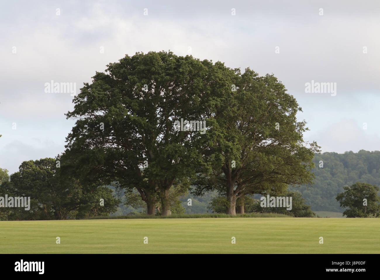 Mature oak trees - Stock Image