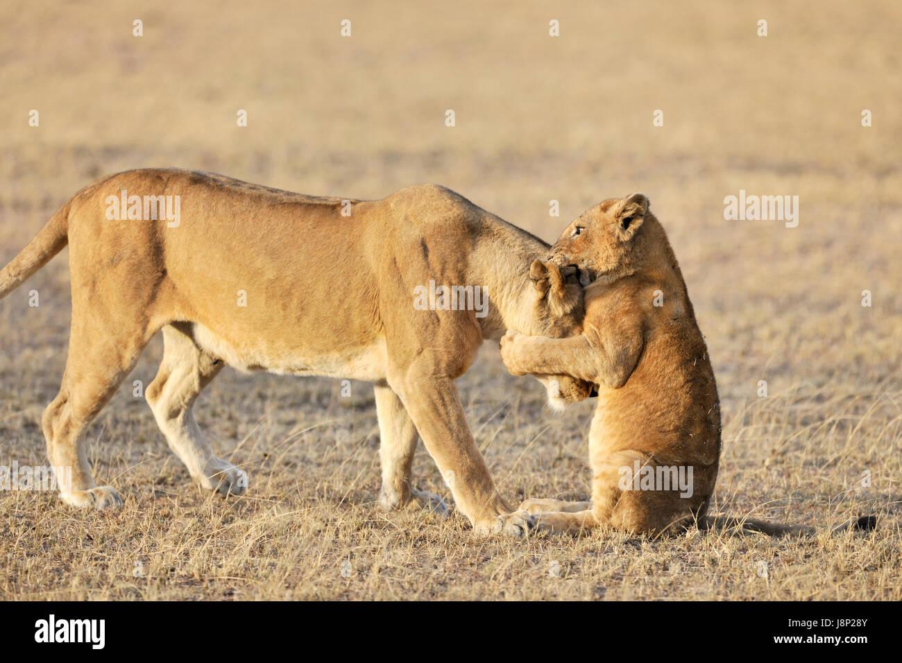 Lion cub (Panthera leo) playing with his mother on the savanna, Serengeti national park, Tanzania - Stock Image