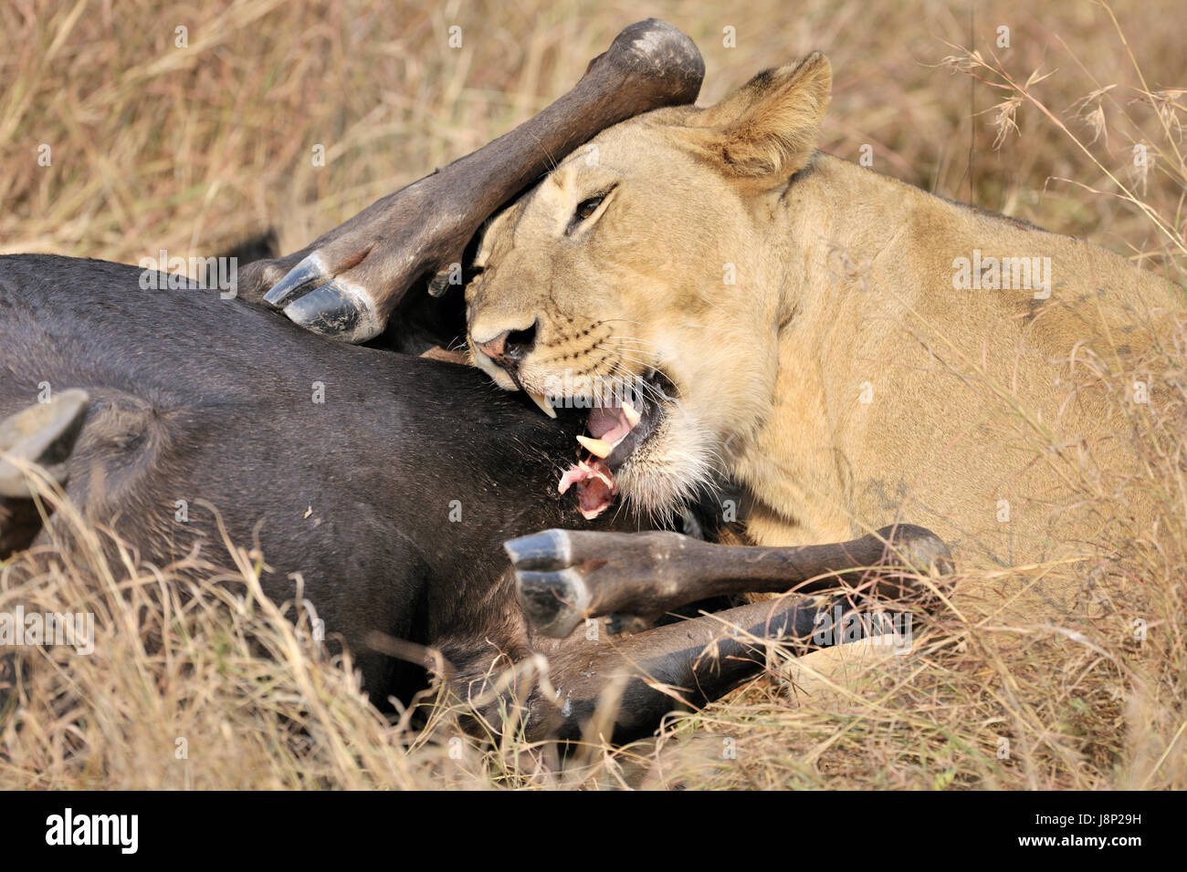 Lioness (Panthera leo) feeding on the carcass of a just caught Blue Wildebeest (Connochaetes taurinus), Serengeti - Stock Image
