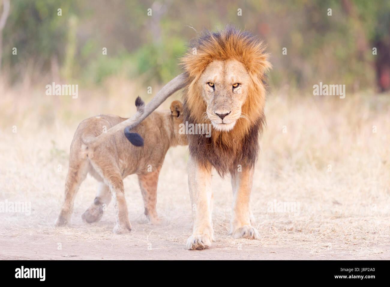 Lion (Panthera leo) cub greeting his father, tha male lion looking at camera, Serengeti National Park, Tanzania. - Stock Image