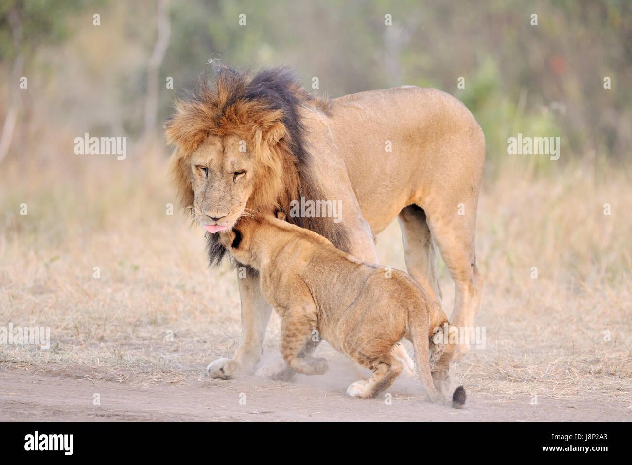 Lion (Panthera leo) cub greeting his father, Serengeti National Park, Tanzania. Stock Photo