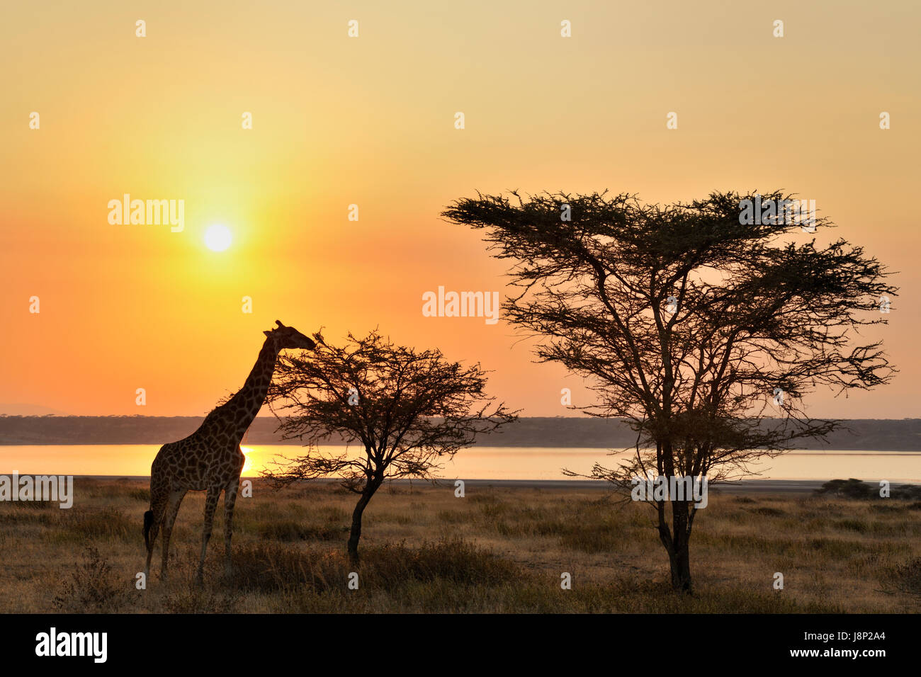 Giraffe (Giraffa camelopardalis) eating an Acacia with sunset backlight and Ndutu lake, Ngorongoro conservationa - Stock Image