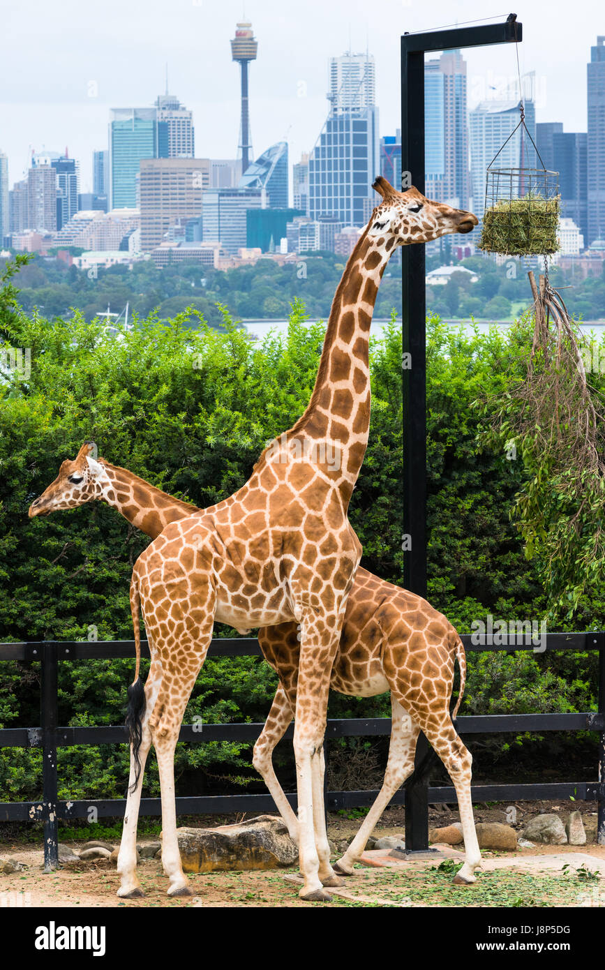 Tarronga zoo's Giraffes with Sydney skyline. NSW. Australia. - Stock Image
