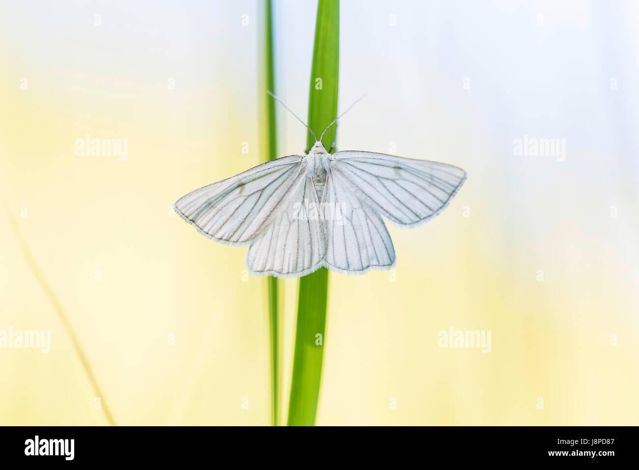 White butterfly, Weissling (Pieridae) near Neuffen on the Swabian Alb. Stock Photo
