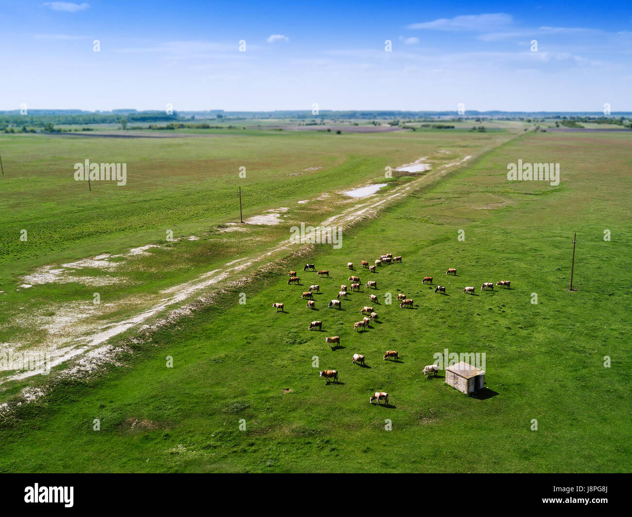 Aerial view of cows herd grazing on pasture field, drone point of view - Stock Image