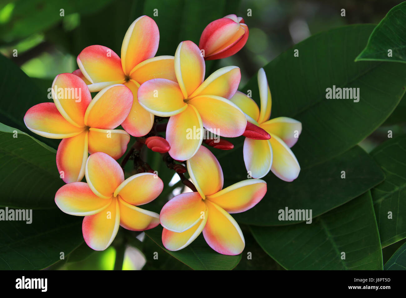 Fiori Hawaii.Frangipani Hawaii Stock Photos Frangipani Hawaii Stock Images