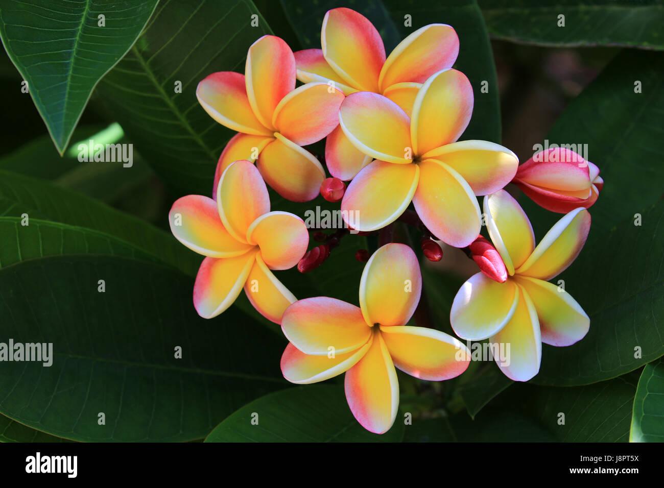 Lei rainbow plumeria flowers, Hawaii - Stock Image