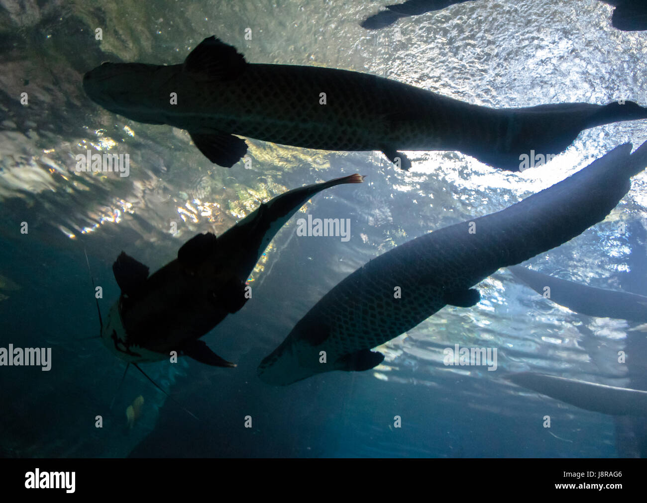 Underwater bottom-top silhouette of a big catfish and tarpon fish - Stock Image
