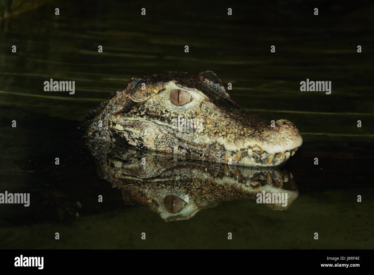 reptile, crocodile, dangerous, water, swimming, swiming, swim, swims, to do the - Stock Image