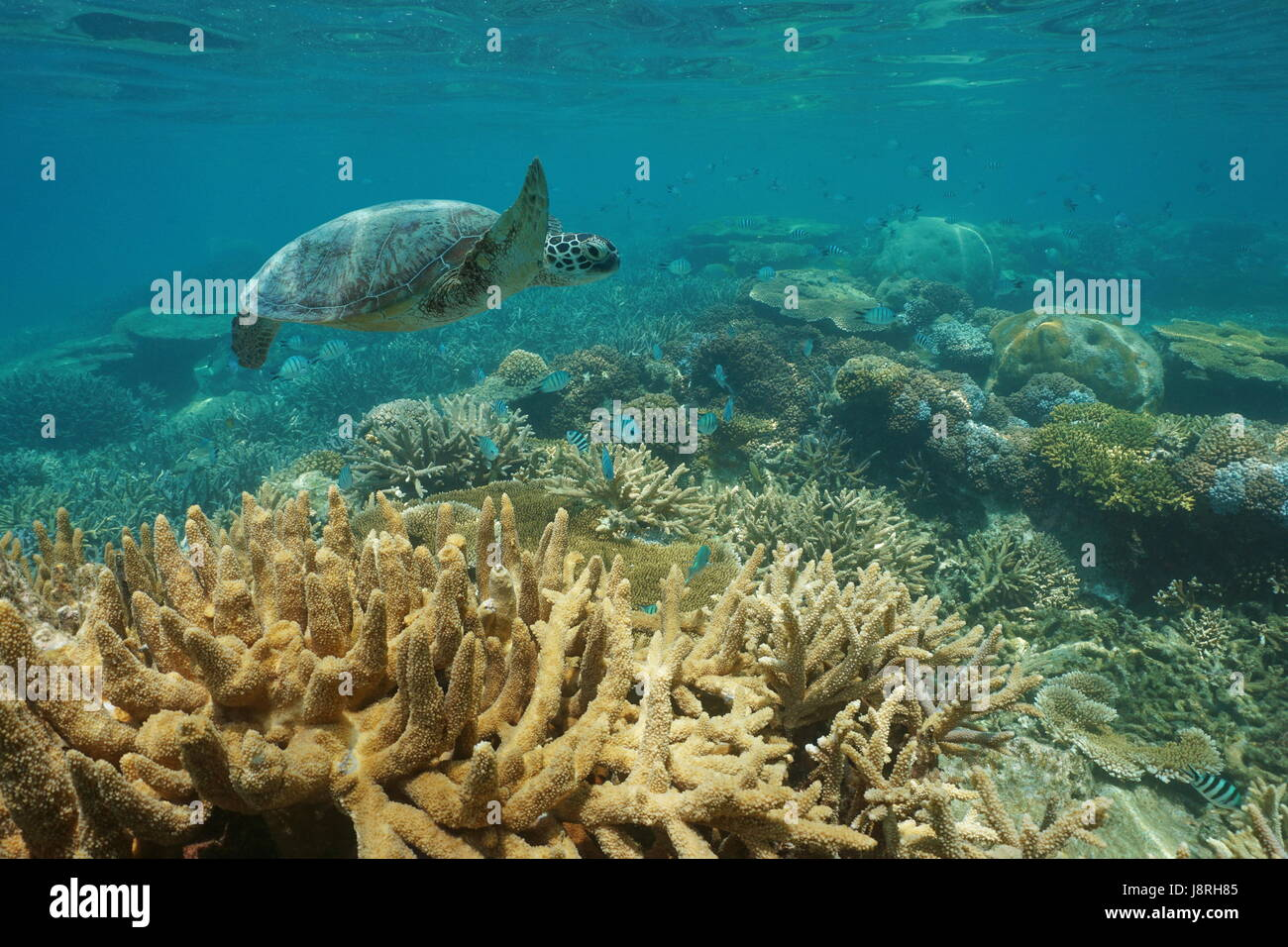 Underwater a green sea turtle swims over an healthy coral reef with fish, New Caledonia, south Pacific ocean - Stock Image
