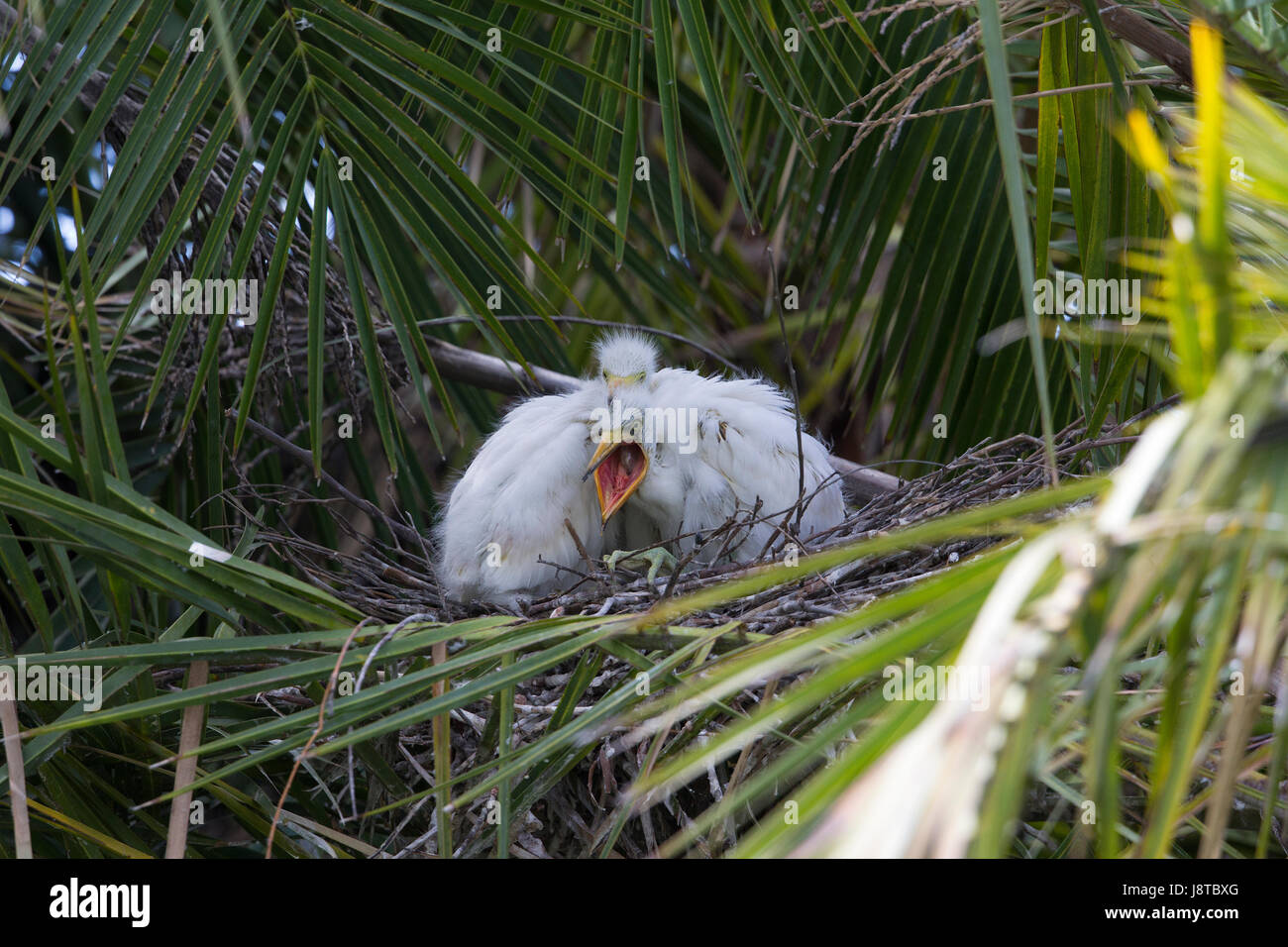 Snowy Egret Chick in Nest Yawning - Stock Image