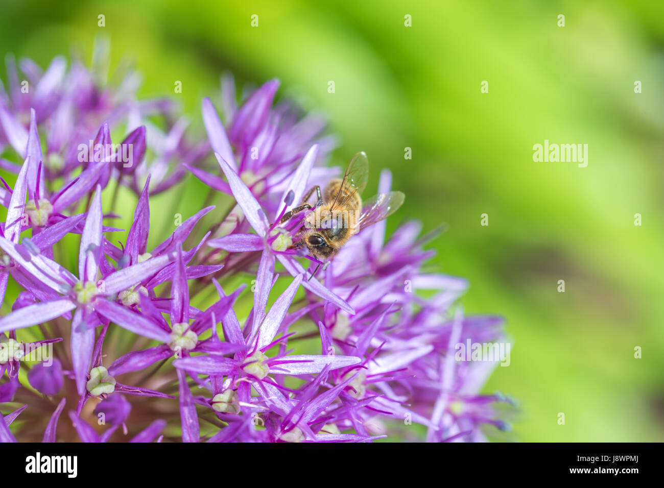 Close up of a bee on a purple allium bulbs flower - Stock Image