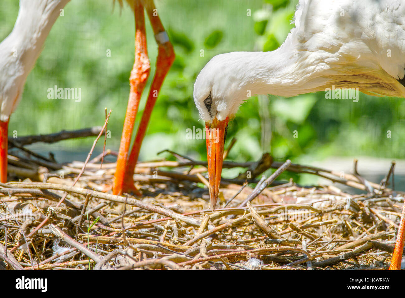 Image of a bird stork beak building a nest - Stock Image