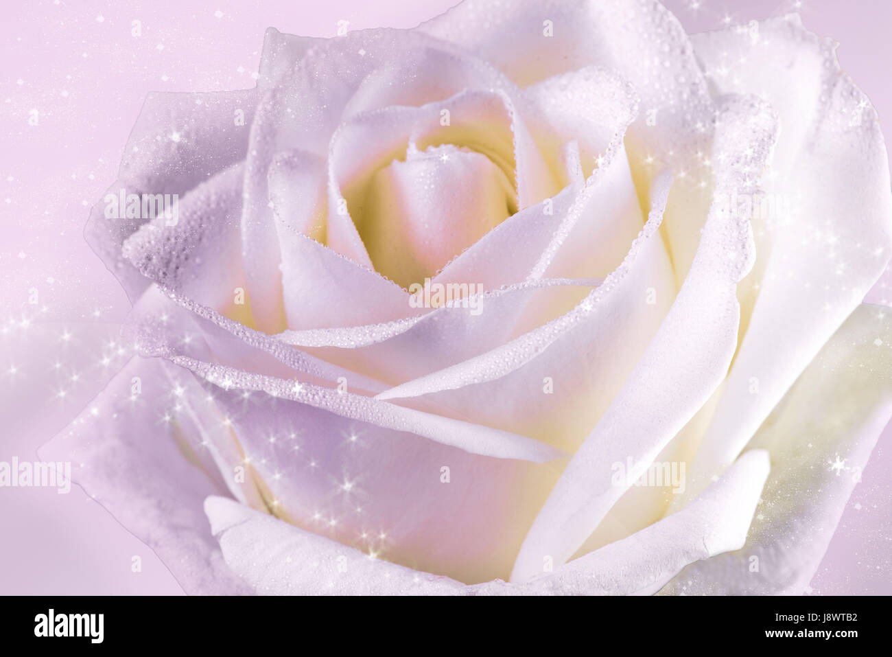 Delicate white rose with shiny stars - Stock Image