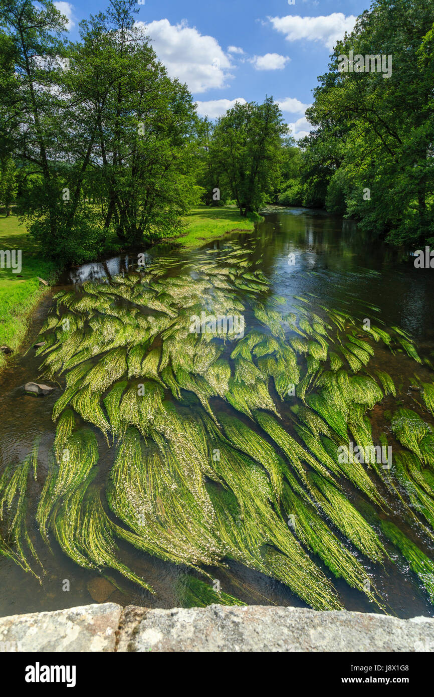 France, Creuse, Moutier-d'Ahun, view from the romanesque bridge over the Creuse and River water crowfoot (Ranunculus - Stock Image