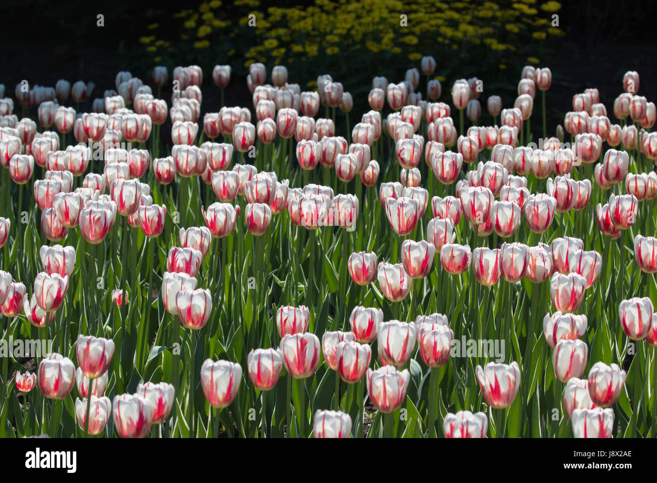 Canada 150 Tulips - Stock Image