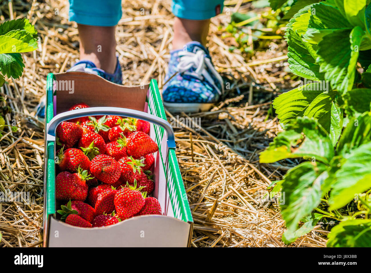 Women standing in front of carton box filled with fresh organic strawberry on the ground - Stock Image