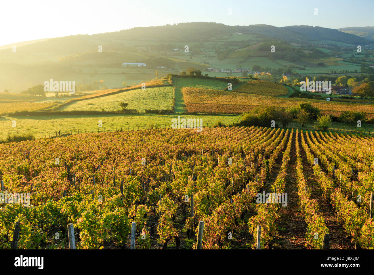 France, Saone et Loire, Pierreclos, vineyard fall - Stock Image
