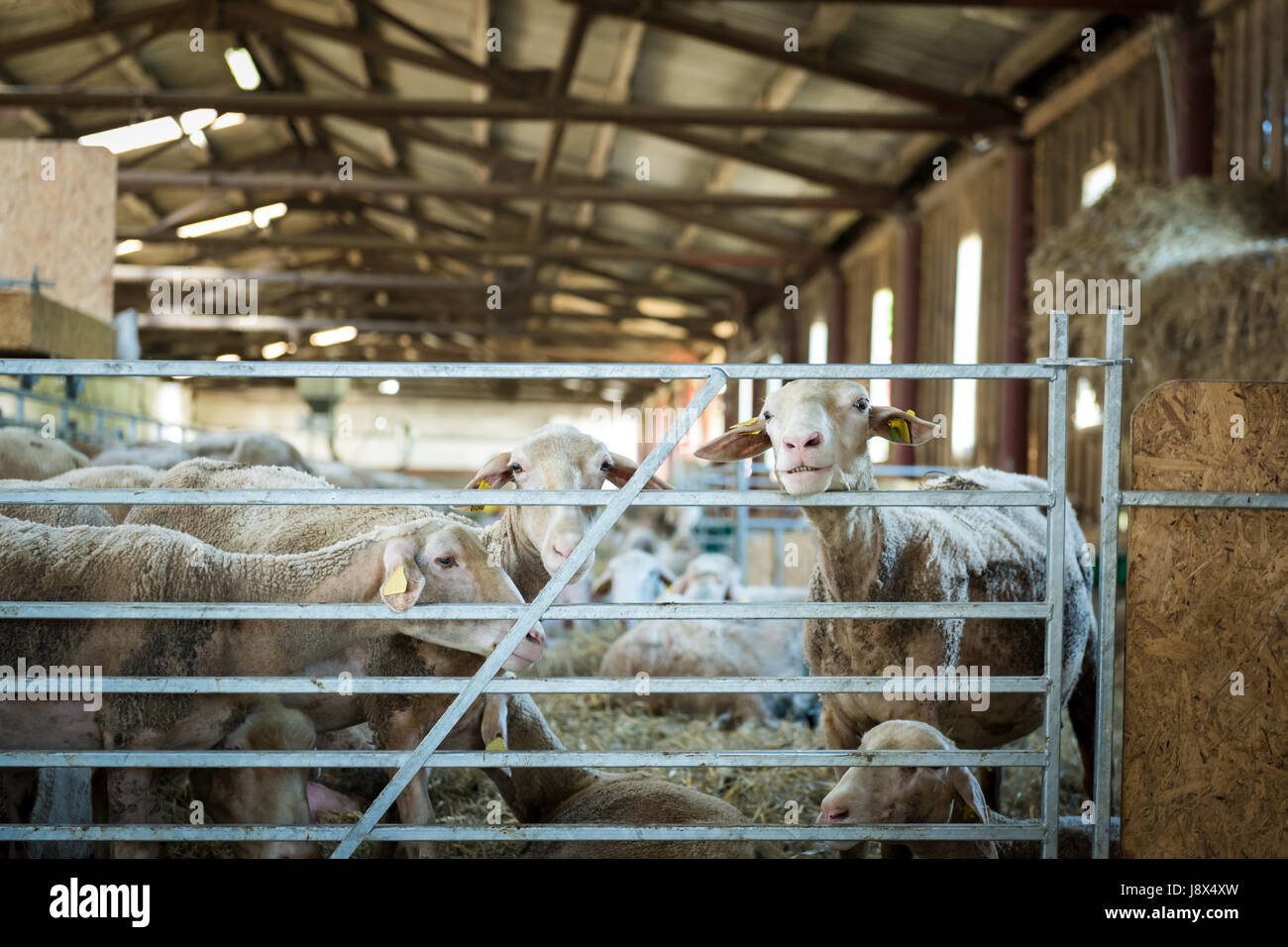 Flock of sheep feeding on hay, agriculture industry, farming and husbandry concept Stock Photo