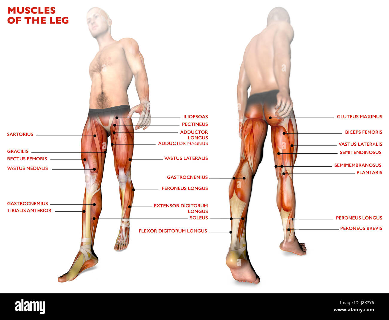 Leg Muscles Human Body Anatomy Muscle System 3d Rendering Stock