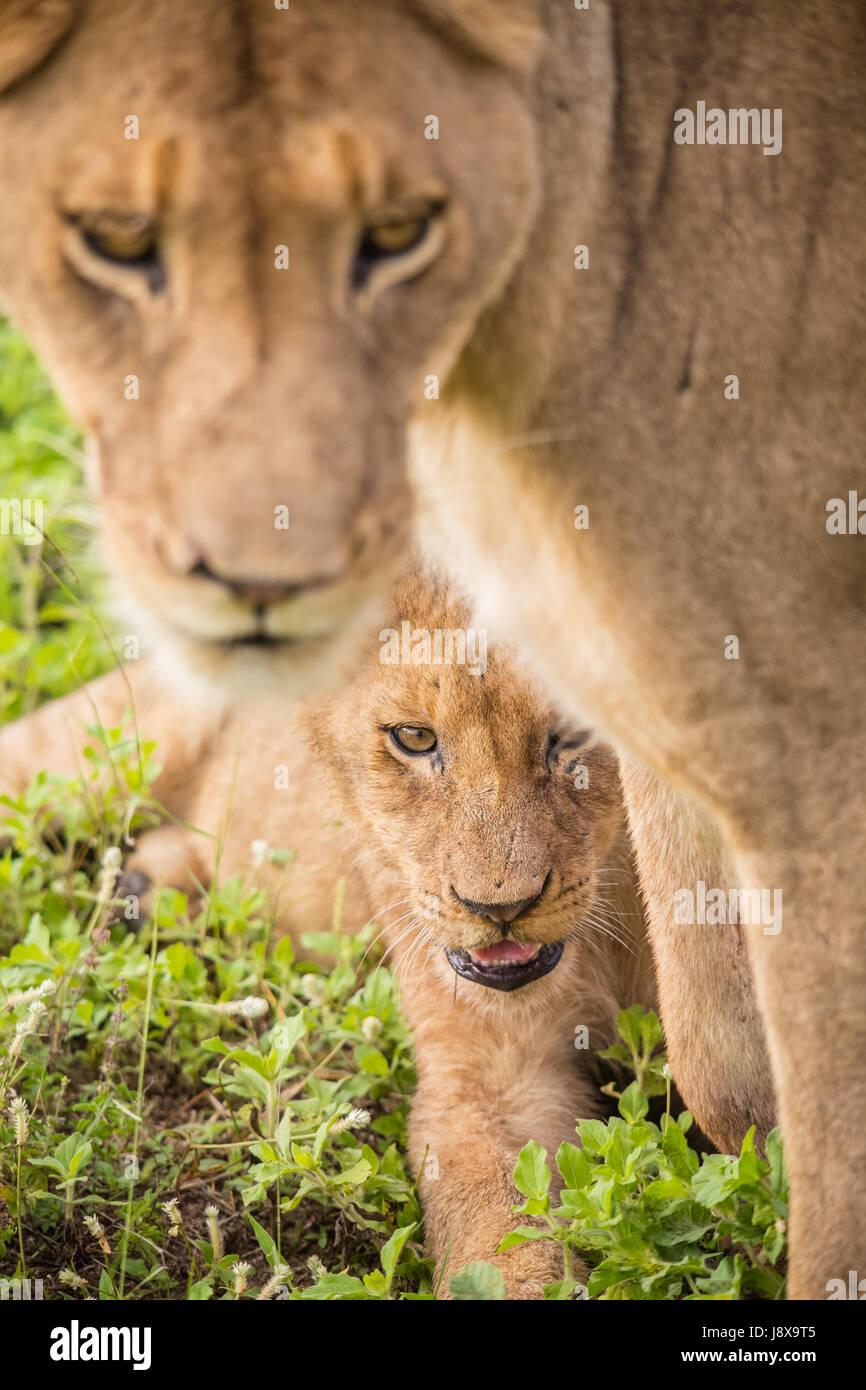 South Africa - January 15: Morning Game drive safari at Mkuze Falls Game Reserve - Stock Image