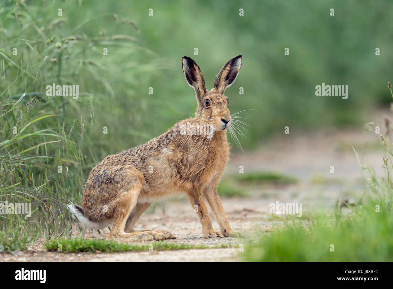 Brown Hare (Lepus europaeus) sitting to attention on a Norfolk arable farm. - Stock Image