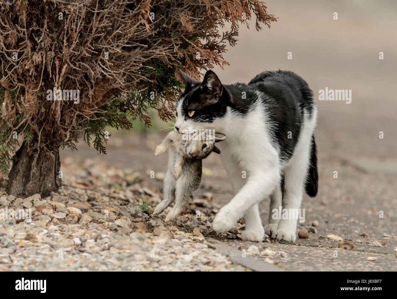 Domesticated Cat carrying a dead young Rabbit. Stock Photo