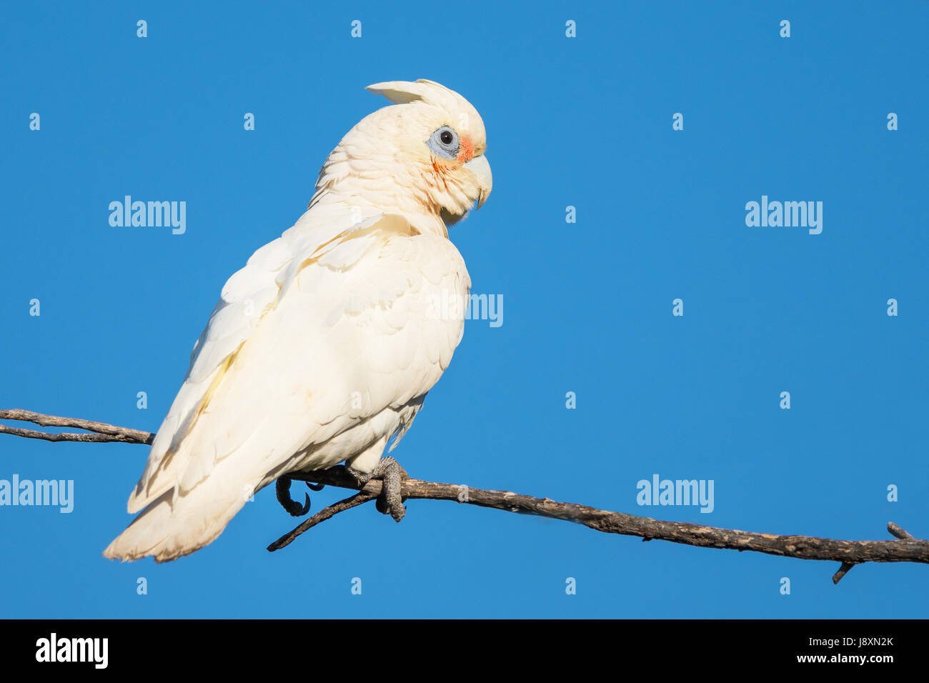 A Little Corella perched on a branch at Herdsman Lake in Perth, Western Australia. - Stock Image