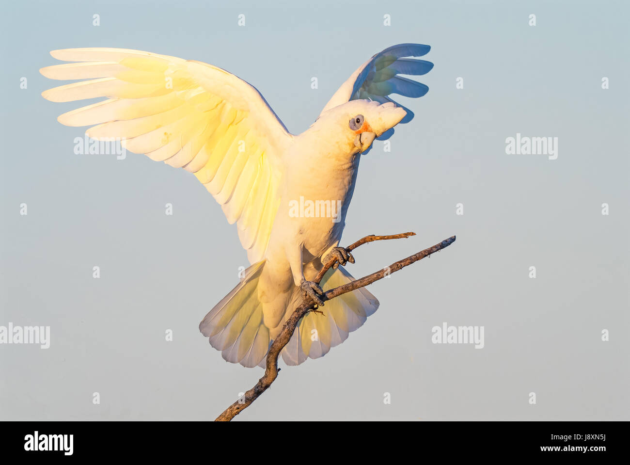 A Little Corella perched on a branch, with wings outstretched, at Herdsman Lake in Perth, Western Australia. - Stock Image