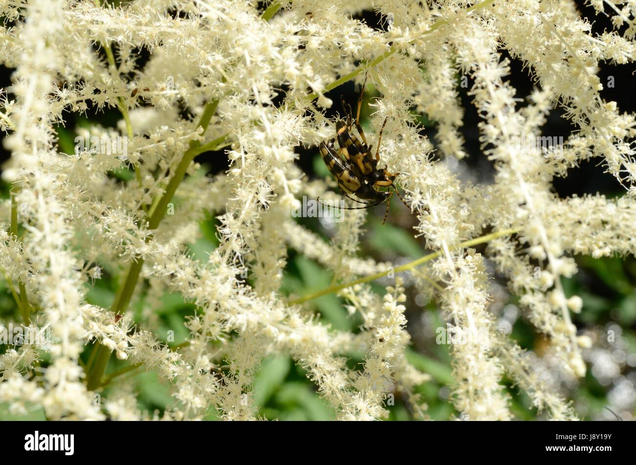 Aruncus dioicus, or Bride's Feathers, flowering in a European montane forest. The plant is also called Goat's - Stock Image