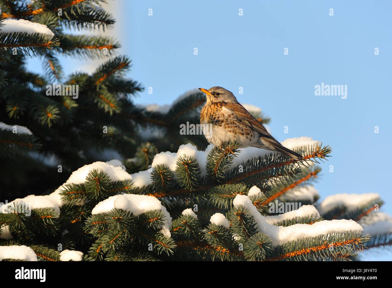 winter, bird, cold, birds, thrush, winter, animal, bird, cold, birds, Stock Photo