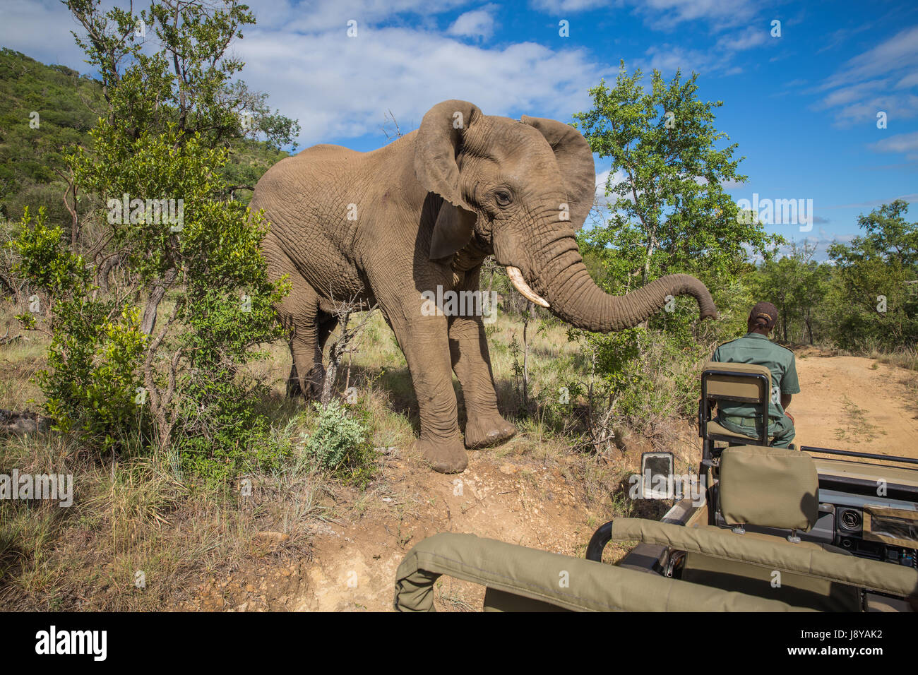 South Africa - January 15: Closely visit with a elephant during the safari at Mkuze Falls Game Reserve - Stock Image