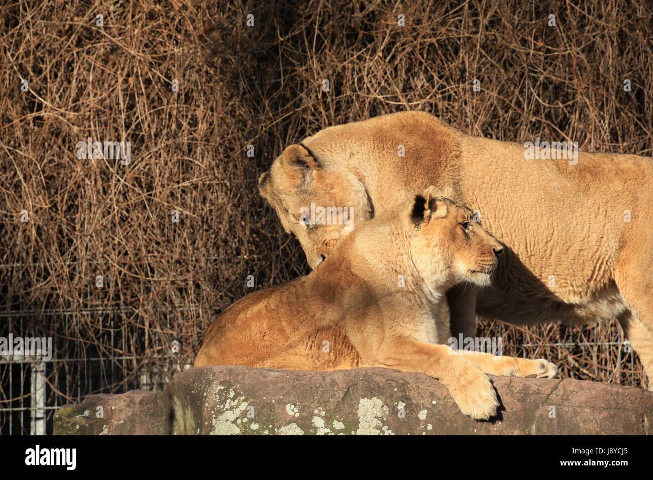 mammal, lion, cat, big cat, feline predator, skin, predator, lioness, head, Stock Photo