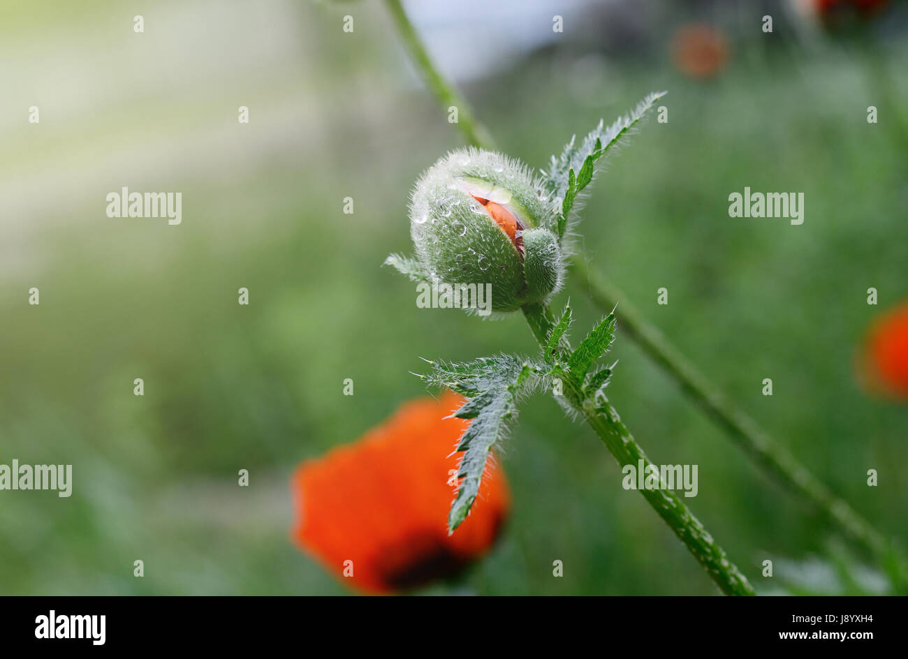 Beautiful red poppy close up photo of spring flower symbol of beautiful red poppy close up photo of spring flower symbol of commemorate military personnel who have died in war also simbol of sleeping and death mightylinksfo
