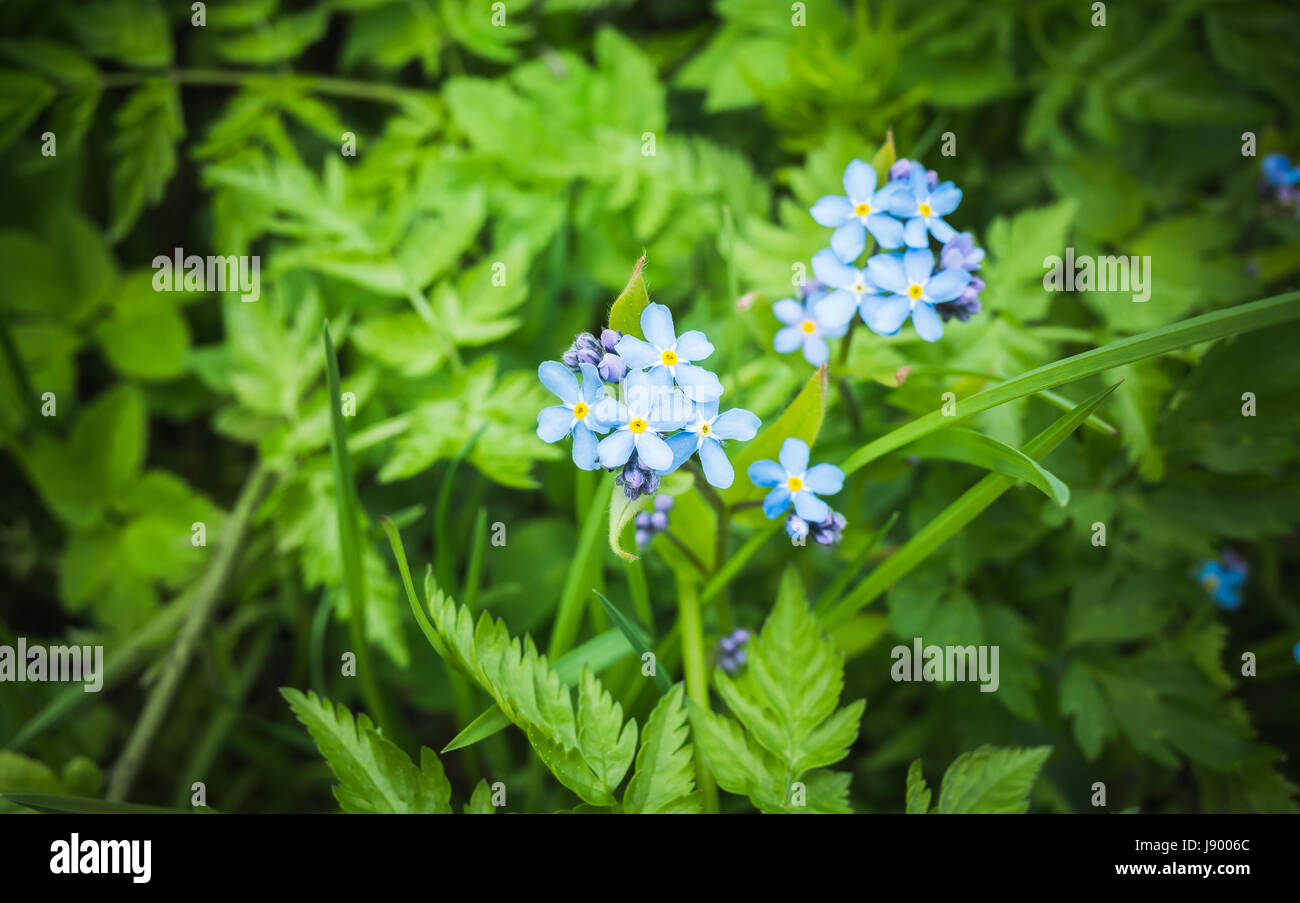 Forget Me Not Blue Wild Flowers In Spring Forest Macro Photo With