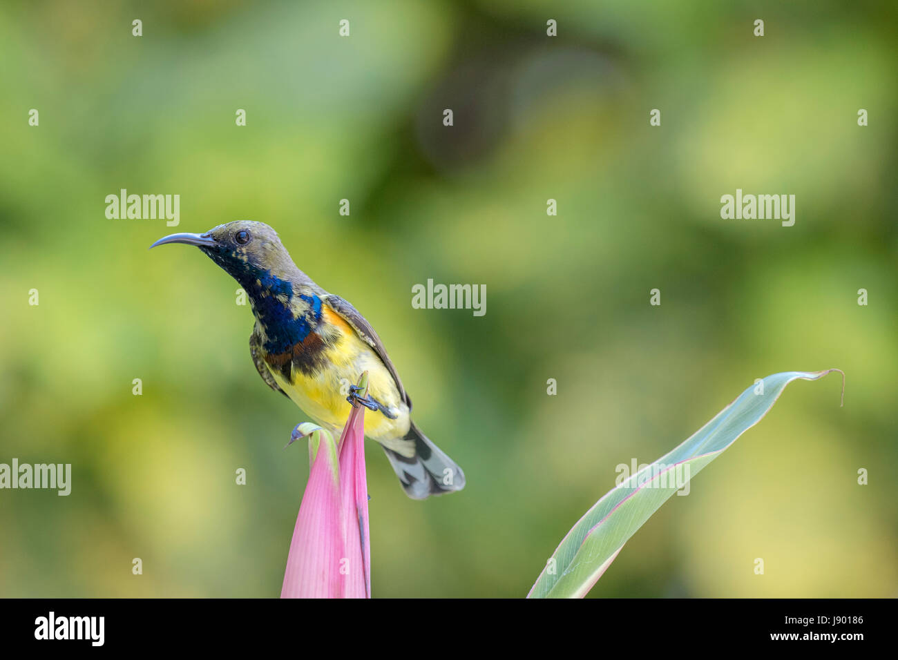 Lone male olive-backed sunbird (Cinnyris jugularis) perching on the pink flower after feeding on nectar in Bangkok, - Stock Image